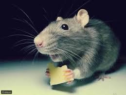 فيديو لا يصدق لفأر يستحم بالماء والصابون كالبشر رائج