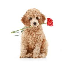 best dog food for poodles puppies