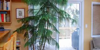 low light indoor trees you can grow