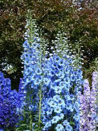 larkspur blue blossom bloom
