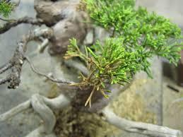 sick or dying juniper bonsai tree