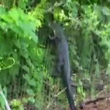 Alligator Caught Climbing A Fence In Florida
