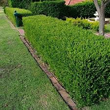 Amazon Com Wintergreen Japanese Boxwood Hedge Seeds Buxus Microphylla 20 Seeds 20 Garden Outdoor
