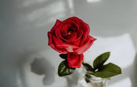 wallpaper red rose flower water