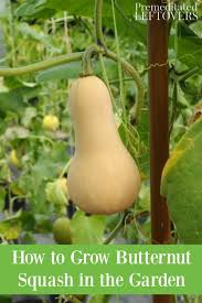 grow ernut squash from seed to harvest