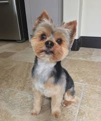 60 best yorkie haircuts for males and