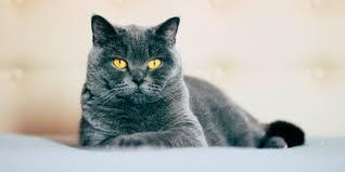 Conoce las diversas razas de gatos   Purina®