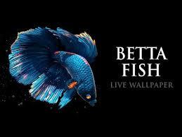 betta fish live wallpaper free apps