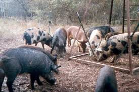 think 30 50 feral hogs is a joke
