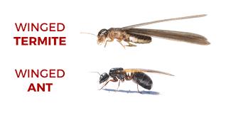 18+ Flying Termites Look Like Gif
