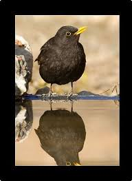 blackbird male drinking at pool