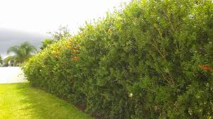 Florida Edible Landscaping Using Bottle Brush As Privacy Fence