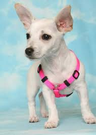 taco terrier chihuahua toy fox terrier