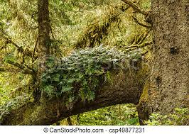 Gray tree trunks in a forest with green branches and fern. Gray tree trunks  in a forest with green branches and fern.
