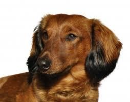 lovely dachshund dog photo and