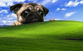 windows xp pug dog wallpapers hd