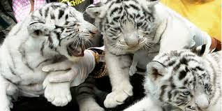 baby white tigers level 1 news in
