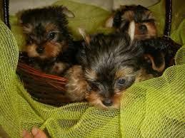 teacup yorkie puppies memphis tn