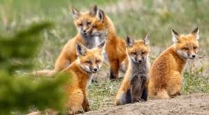 fox family near chestermere has caught