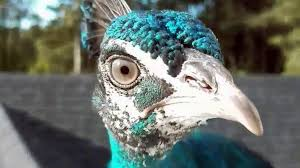 My peacock has run off with the turkeys': Vermont couple searches ...
