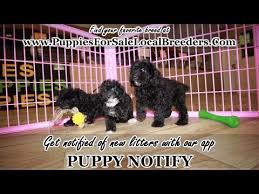 toy poodle puppies georgia