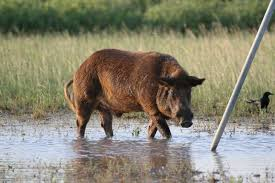 feral hogs appearing in kingwood other
