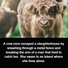 A Cow Once Escaped A Slaughterhouse By Smashing Through A Metal Fence And Breaking The Arm Of A Man That Tried To Catch Her She Swam To An Island Where She Lives