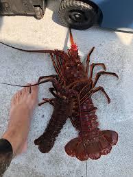 California lobster season is open boys ...