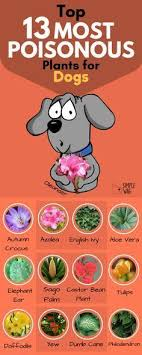 top 13 most poisonous plants for dogs