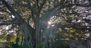 Risultato immagini per immagine di alberi plurisecolari