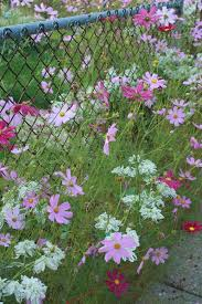 A Chainlink Fence Transformed Finegardening