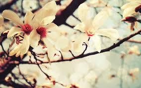 صور ورد الياسمين زهور الياسمين الجميلة كلمات جميلة