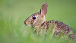 rabbit repellent natural options in
