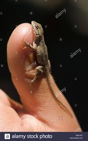 Baby Western Fence Lizard Sceloporus Occidentalis On A Human Thumb Stock Photo Alamy