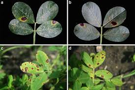 fungal diseases of groundnut control