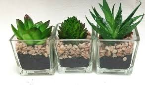 miniature plants succulents fairy