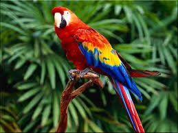 scarlet macaw wallpaper backgrounds