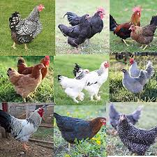 Hoover S Hatchery Rare Standard Package Chickens 10 Count Baby Chicks At Tractor Supply Co