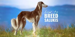 How To Breed Salukis – History, Health ...