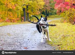 Amstaff Dog Walk Autumn Park Daytime — Stock Photo © alenka2194 #313789576