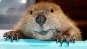 Justin Beaver, rescued as an orphan, makes dams out of toys