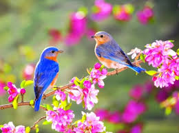 two little blue birds birds s