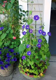 best blue flowers to grow in containers