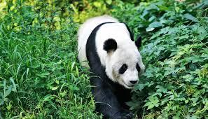 habitat threatens giant pandas ...