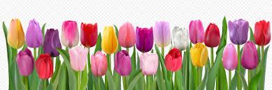 Tulpen Stock-Vektoren und -Grafiken - iStock
