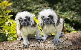 تحميل خلفيات القطن أعلى والقردة القرود كولومبيا عريضة