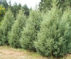 fast growing evergreens for privacy