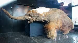 Resultado de imagen de Encuentran Mamuts fosilizado
