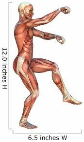Muscle Maps Anatomy Wall Decal Wallmonkeys Com