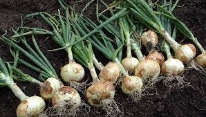 Cómo lograr las cebollas más grandes y de mejor calidad en tu ...